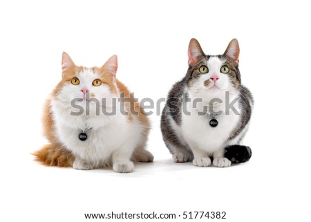 two domestic cats isolated on a white background