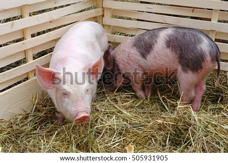 Two domestic little pigs in the fence in the backyard