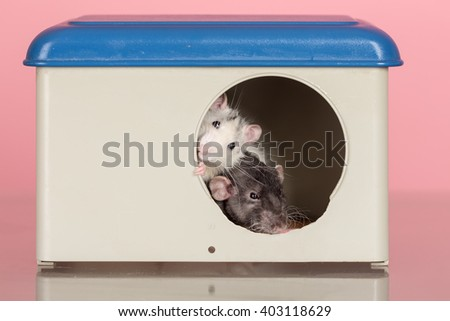 two domestic rats peeping out of the house windows - stock photo