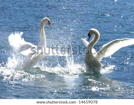 Two dominant swans with grace and beauty battle it out for position - stock photo