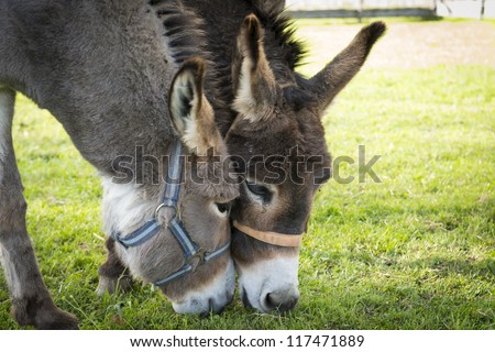 two donkeys eating grass with heads touching each other - stock photo