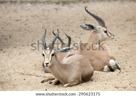Two Dorcas Gazelle sitting in some sand - stock photo