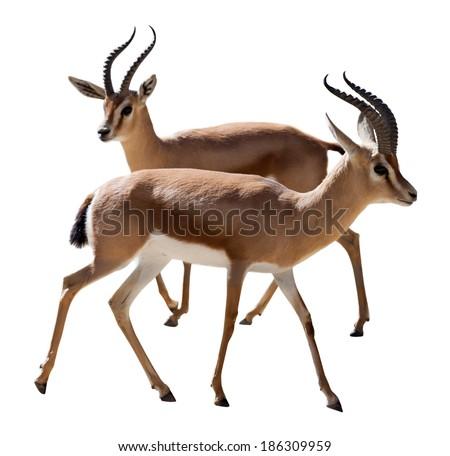 Two Dorcas gazelles.  Isolated on white background - stock photo