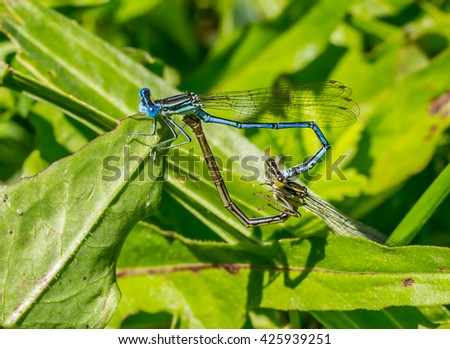 Two dragonflies making love