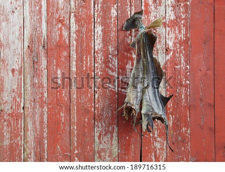 Two dried cods hanging at weathered plank wall. Nordland, Norway.  - stock photo
