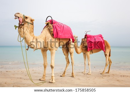 Two dromedary camels on the beach in Tunisia