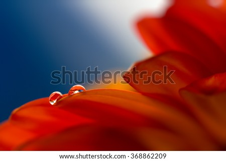 two drops on the petals of gerbera - stock photo