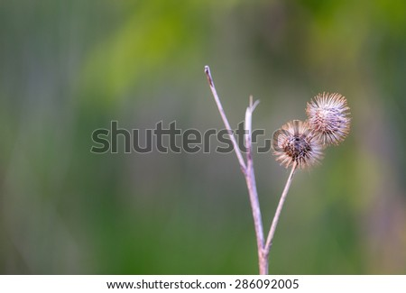 Two dry burrs - stock photo