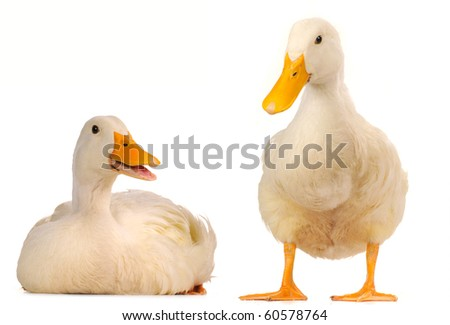 two duck on a white background - stock photo