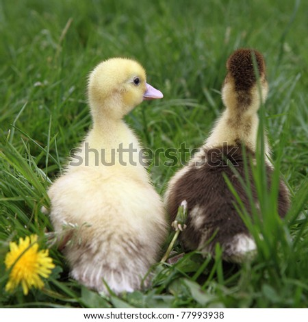 Two ducklings on grass - stock photo