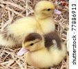 Two ducklings on hay - stock photo