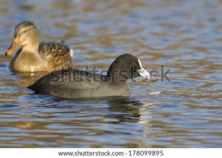 Two ducks, coot and mallard feeding on the pond - stock photo
