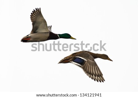 Two ducks flying, against white sky. Right one in focus. - stock photo