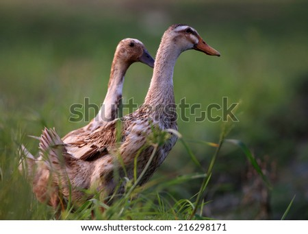 Two ducks in grass field - stock photo
