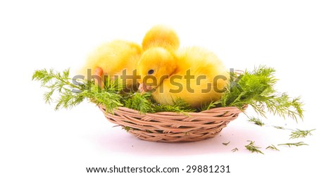 Two ducks in nest