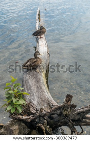 Two ducks sit on a fallen tree at Seward Park in Seattle, Washington.