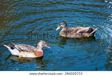 Two ducks swim in pond. Blue water and wave reflection on water surface.