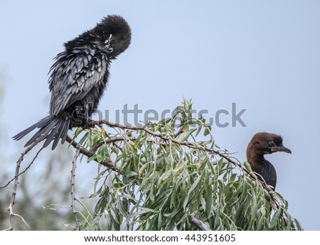 Two dwarf cormorants sitting in Italy, at Ravenna, on a tree