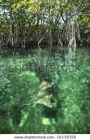 Two Eagle Rays swimming through a beautiful mangrove forest. - stock photo