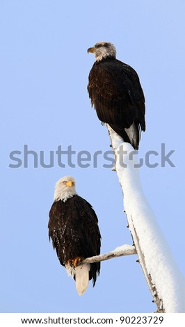 Two eagles ( Haliaeetus leucocephalus )  sit on the dried up tree