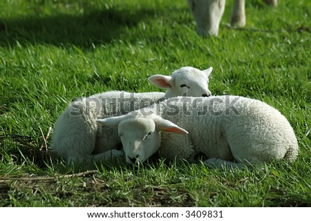 Two easter lambs enjoying the sun. - stock photo