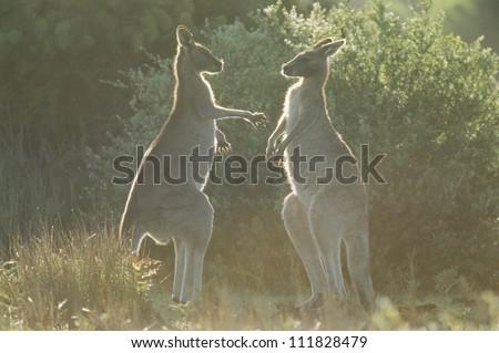 Two eastern grey kangaroo, Australia - stock photo
