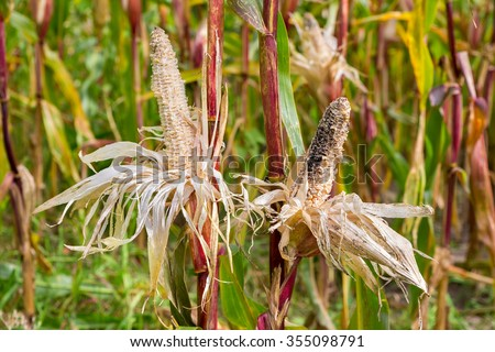 Two eaten damaged corncobs in corn field - stock photo