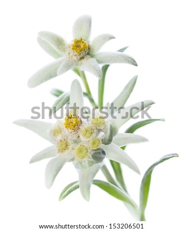 Two Edelweiss flowers (Leontopodium alpinum) isolated over white - stock photo