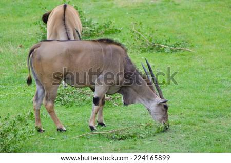 Two Eland (Taurotragus oryx), worlds largest antelope. - stock photo