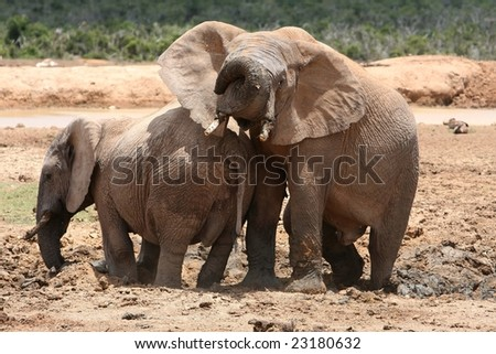 Two elephant friends enjoying playing in mud