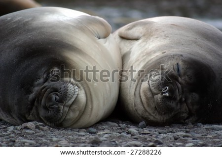 Two Elephant seals (Mirounga leonina) resting close together - stock photo