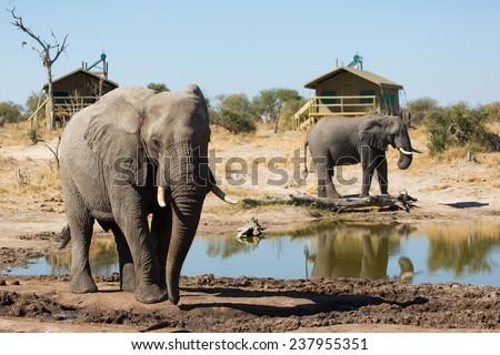 Two elephants at a waterhole beside a lodge - stock photo