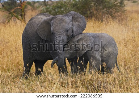 two elephants brothers of different ages demonstrate their affection each other - stock photo