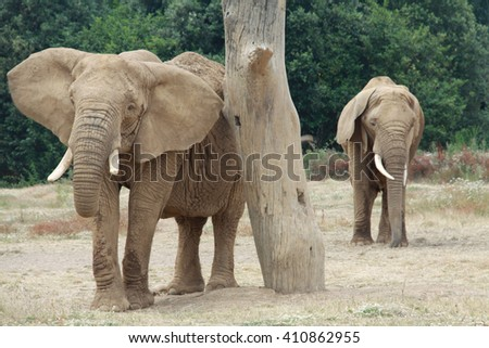 Two elephants by a tree in a safari reserve in France. Elephants standing beside a tree. - stock photo