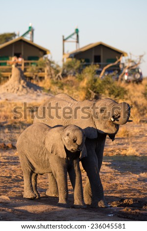 Two elephants drinking at a waterhole in front of a lodge in Botswana. - stock photo