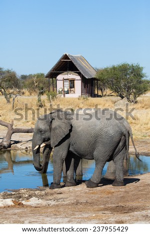 Two elephants drinking at a waterhole near a lodge - stock photo