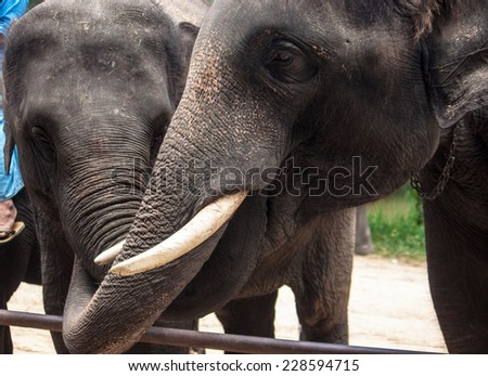 Two elephants holding each others trunk