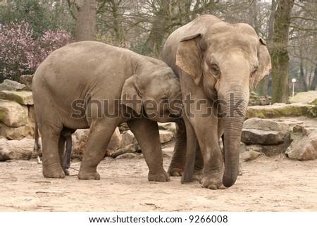 Two elephants hugging - stock photo