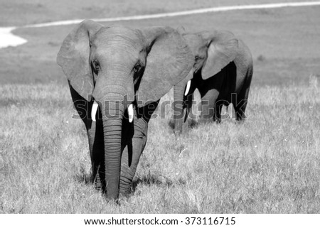 Two elephants in black and white. Taken on safari in South Africa. - stock photo