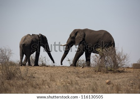 Two Elephants in the heat - stock photo