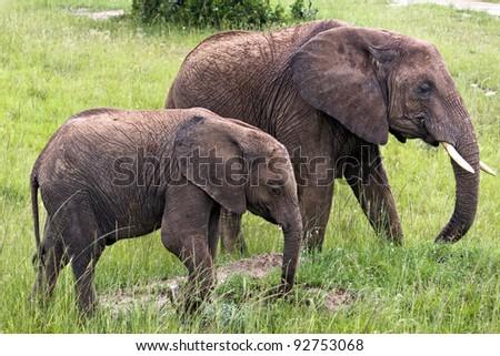 Two Elephants in the Masai Mara park - stock photo