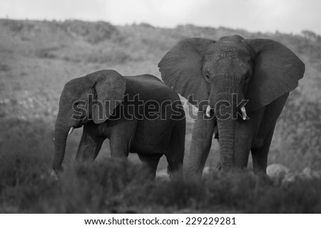 Two elephants in this black and white image - stock photo