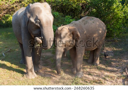 Two elephants - mother and calf. Sri Lanka - stock photo