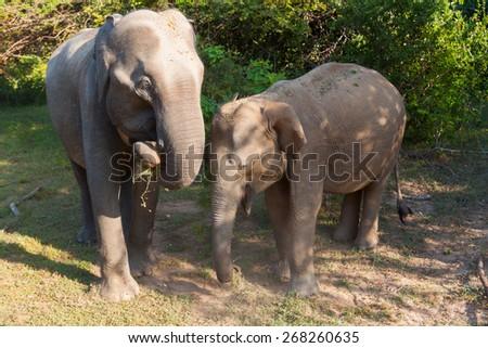 Two elephants - mother and calf. Sri Lanka - stock photo