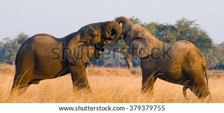Two elephants playing with each other. Zambia. Lower Zambezi National Park. Zambezi River. An excellent illustration. - stock photo