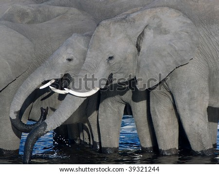 two elephants quenching their thirst - stock photo