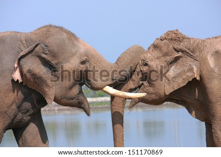 Two elephants show good relationship of each others - stock photo