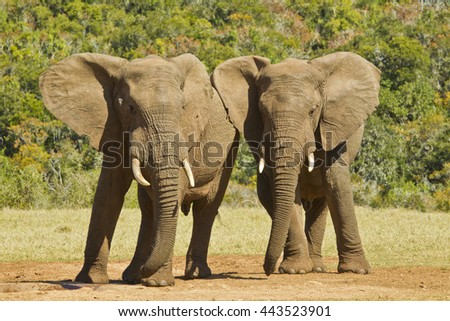 Two elephants standing and leaning against each other while in the hot summers sun - stock photo