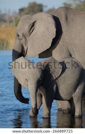 Two elephants standing in blue water in the Linyanti swamps - stock photo