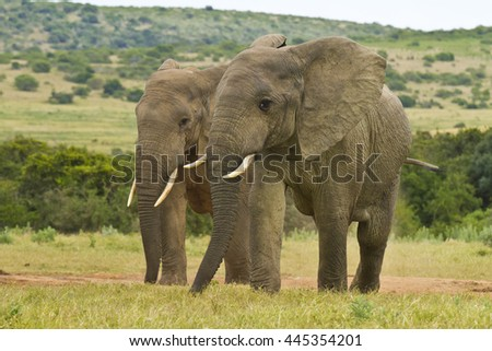 Two elephants standing next to a natural water hole relaxing - stock photo